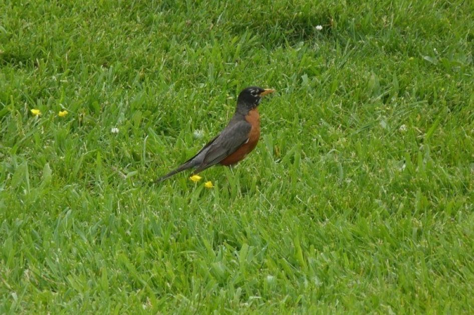 North American Robin in the grass