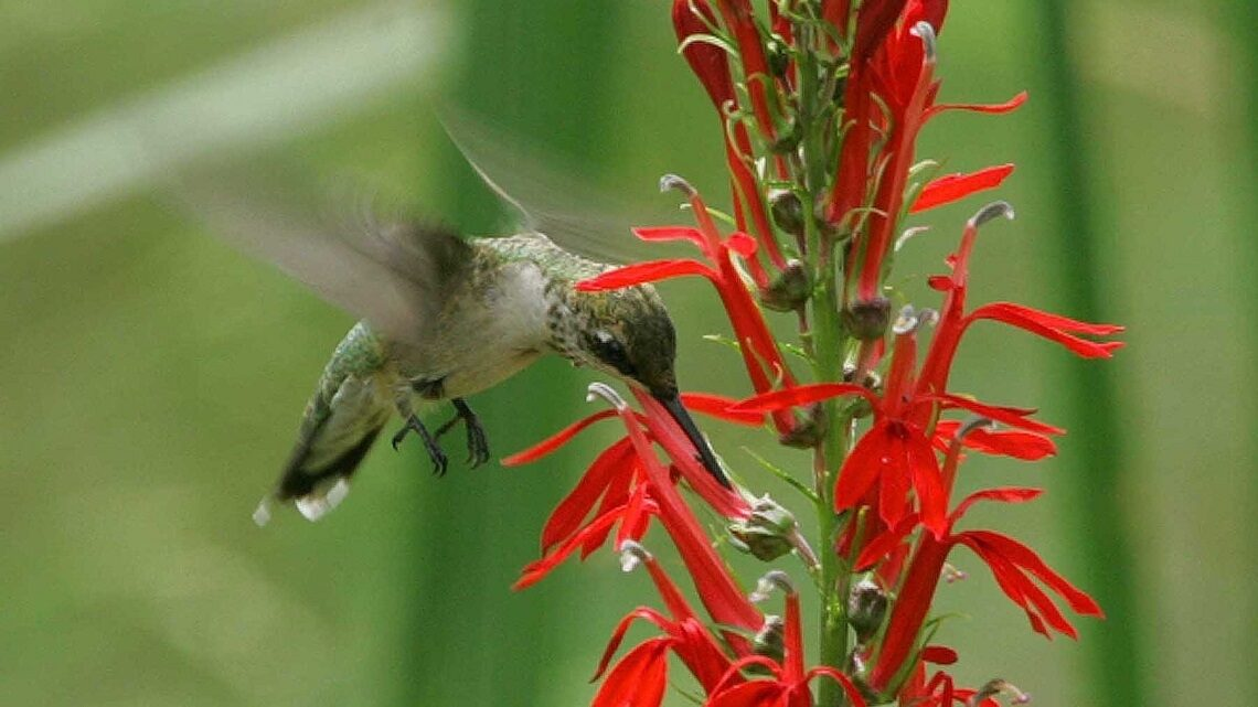 Humming bird flying near native plant