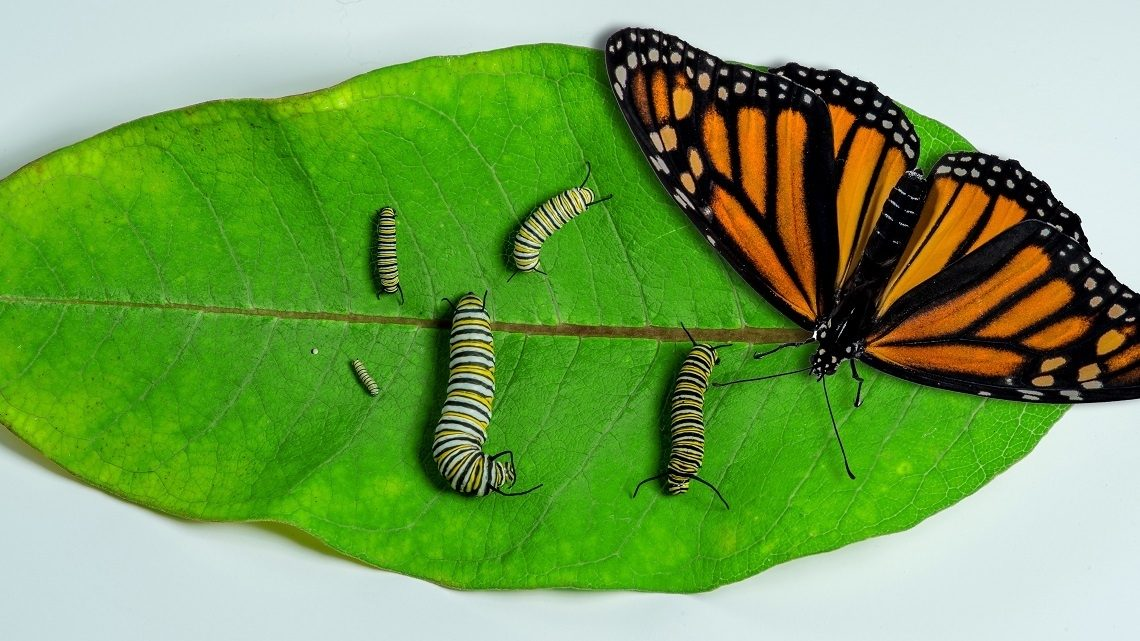 Butterfly &caterpillars on leaf