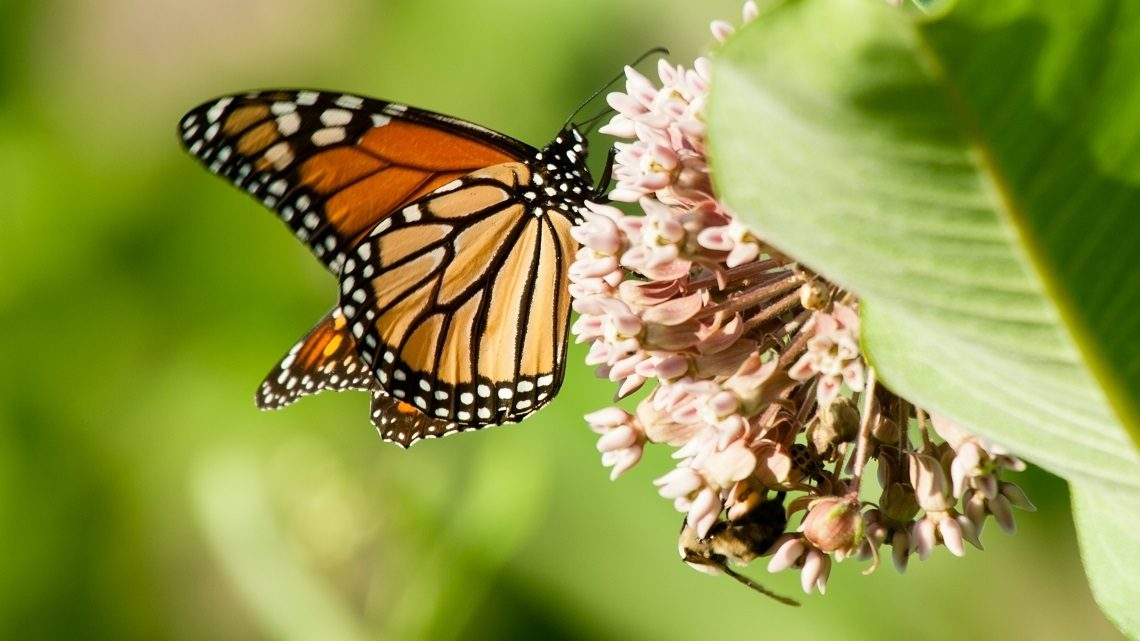 A monarch butterfly feeds on the nectar of a common milkweed plant