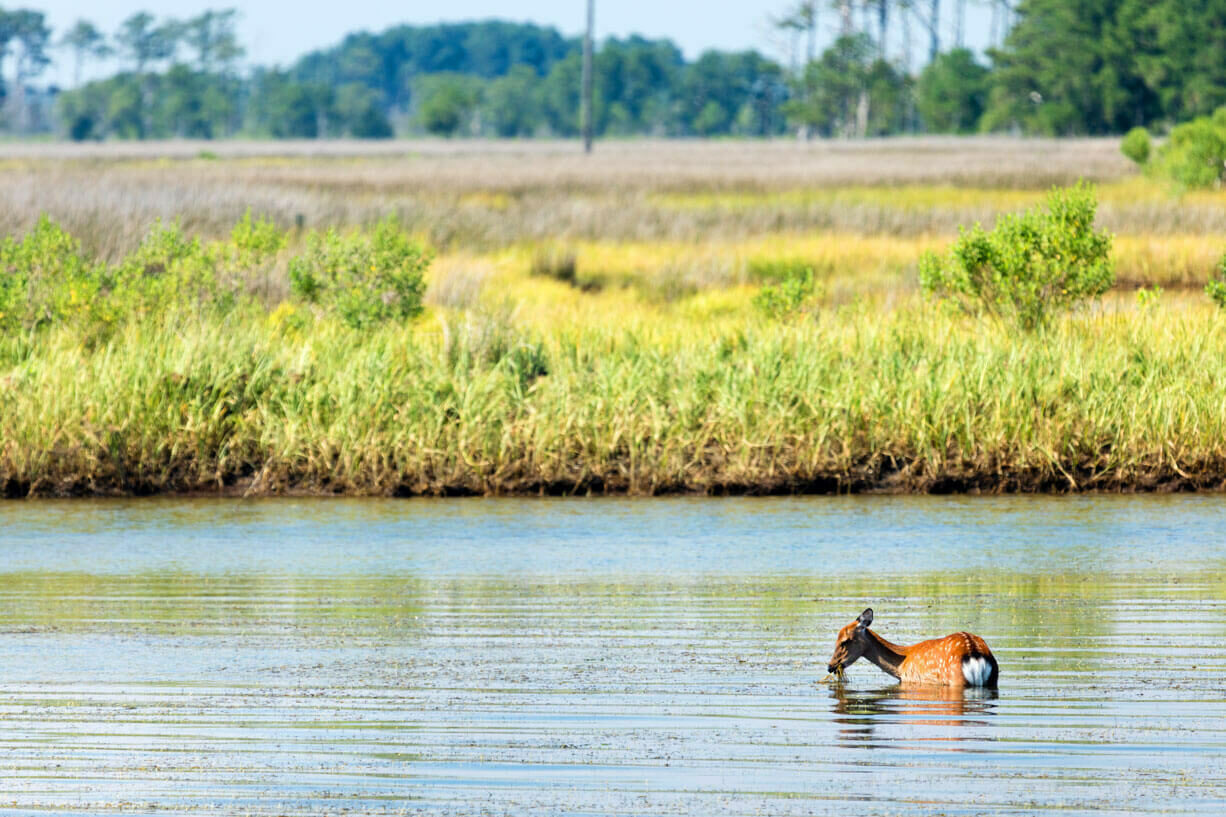 A deer wading in a marsh, lush vegetation in the background.