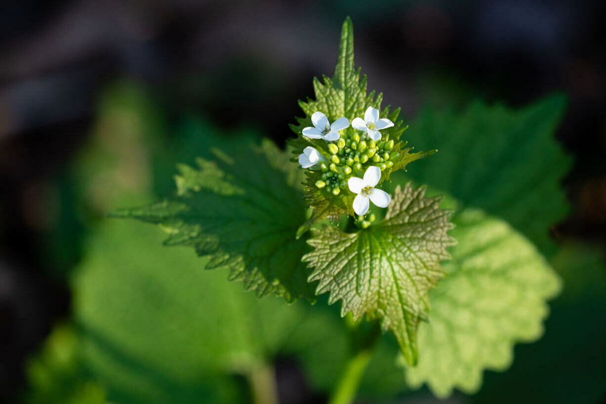 Flowers and leafs of garlic mustard