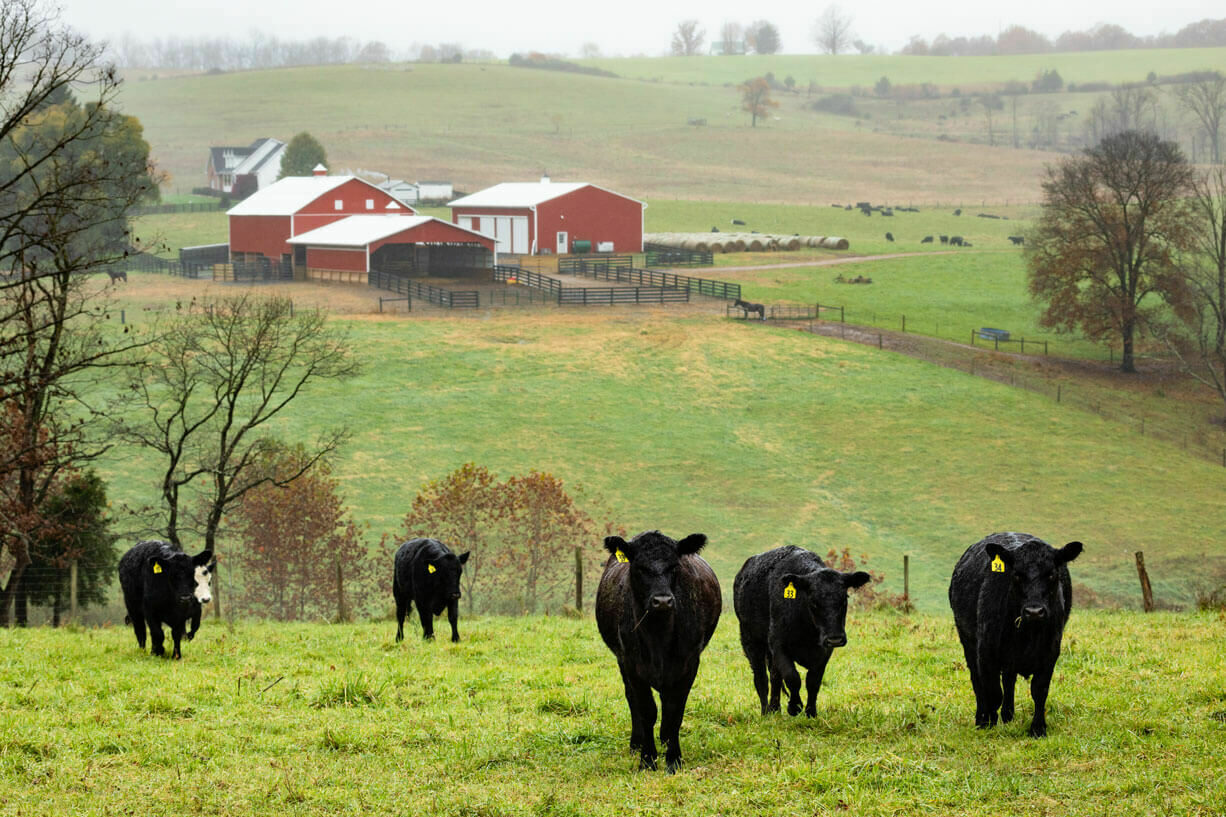 Cattle walking in a field with a large agricultural barn in the background.