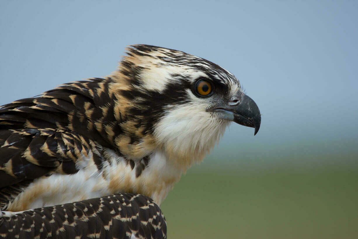 Close up of an osprey head. You can see its sharp beak and focused eyes.