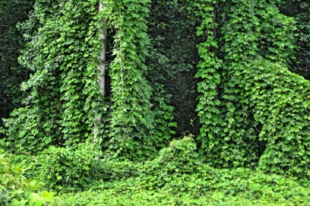 Invasive Kudzu plants surrounding trees