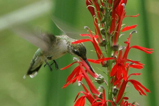 Humming bird flying near native plant