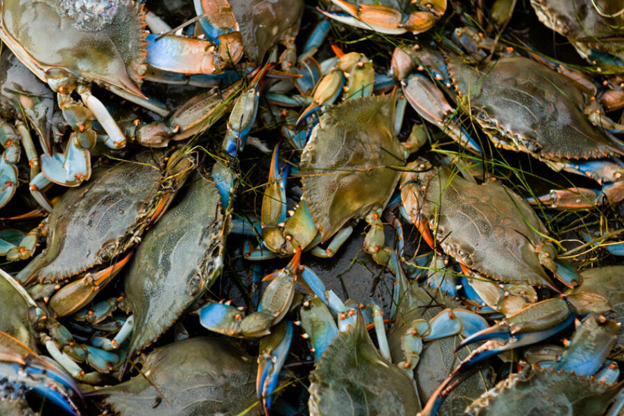 A large pile of live blue crabs that have been just caught.
